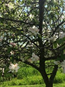 full apple blossoms